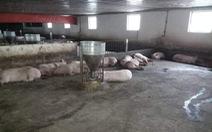 Xác minh thông tin trang trại chở heo bị dịch đi bán