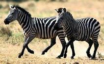 Tại sao ngựa vằn lại có sọc trắng đen?