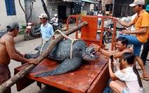 Rùa quý hiếm nặng trên 150kg chết ngạt vì dính lưới giã cào