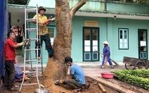 Cứu cây quý hiếm ở nhà Bác Hồ