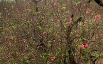 Một chủ vườn đào tại Bắc Ninh nghi uống thuốc sâu tự tử