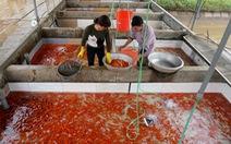 Lãi trăm triệu nhờ nuôi cá chép đỏ phục vụ ông Công, ông Táo