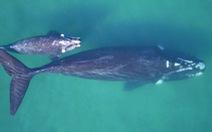 Làm cách nào cân một con cá voi 190 tấn đang bơi trên biển?