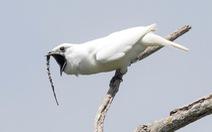Loài chim hót gọi bạn tình ồn hơn cả... máy bay cất cánh