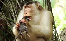 Khỉ săn chuột để ăn: nhà nông mừng, nhà khoa học lo