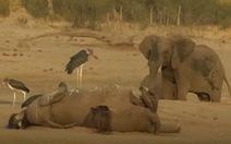 Đau lòng 55 con voi chết thảm vì đói khát, bị kền kền rỉa xác