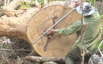 Video: Lợi dụng thanh lý gỗ gãy, đổ do mưa bão để... trục lợi?