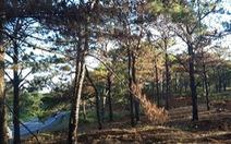 Bắt nhóm 'hạ độc' 1.159 cây thông trên 30 tuổi chiếm đất mặt tiền