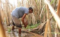 Nông dân ĐBSCL 'sống dở chết dở' với cây mía vì đường lậu
