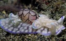 Video: Ốc bong bóng có nọc độc dưới đáy đại dương