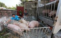Giá thịt heo hơi xuất chuồng lập 'kỷ lục': 76.000 đồng/kg