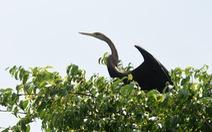 Cận cảnh đàn chim cổ rắn quý hiếm ở Đồng Nai