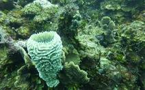 Bệnh lạ đe dọa hủy diệt rạn san hô ở vùng biển Caribe