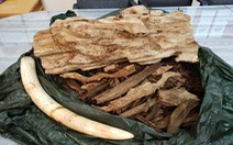 Mang nguyên chiếc ngà voi từ Thái Lan về Việt Nam