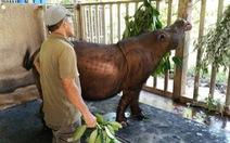 Con tê giác Sumatra cuối cùng ở Malaysia đã chết