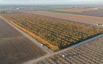 Phát hiện 10 triệu cây cần sa trồng trái phép trị giá 1 tỉ USD ở California