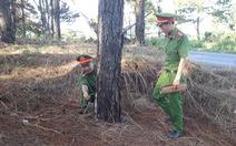 Tạm giam 5 người đầu độc hơn 1.100 cây thông ven quốc lộ 14 để chiếm đất