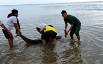 Cá heo 100kg lụy bờ được người dân, biên phòng 'tiếp sức' ra lại biển