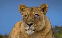 Sư tử đổi màu mắt sau cuộc chiến với lợn hoang