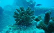 Khởi động dự án 'siêu san hô' cứu các rạn san hô khắp thế giới