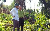 Đốn cây rừng để trồng cây thuốc: 'Chặt cây không xin phép là vi phạm'
