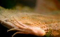Loài vật sống dưới nước y như chiếc lá, nuôi con trong 'tổ ong'