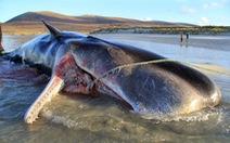 Xác cá nhà táng dạt vào bờ với hơn 100kg rác trong bụng