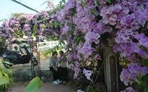 Ngất ngây giàn hoa tỏi được bạn trẻ 'check in' tại Sa Đéc
