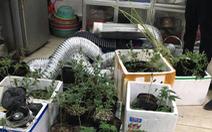 Nam thanh niên thuê trọ trồng cần sa giữa thủ đô để bán
