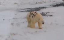 Dân mạng phẫn nộ cảnh gấu Bắc Cực bị phun sơn đầy mình