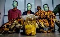 Indonesia bắt 5 nghi phạm săn trộm hổ Sumatra đang mang thai