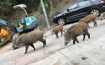 Heo rừng 'đại náo' phố xá, nhà dân ở Hong Kong