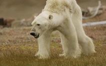 Gấu đói, kéo bầy lục tìm thức ăn như chó hoang