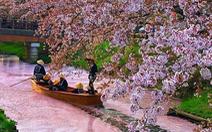 Người Nhật dự báo hoa anh đào nở bằng cách nào?