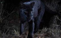 Bức ảnh đầu tiên về loài báo đen châu Phi huyền thoại sau 100 năm