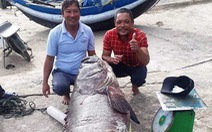 Giáp tết, ngư dân Quảng Trị bắt được cá mú khủng nặng 82kg