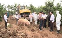 Lợn mắc dịch tả châu Phi không chữa được, buộc phải tiêu hủy