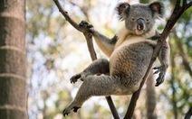Gấu Koala trở thành 'ngôi sao mạng xã hội' nhờ dáng ngồi sexy