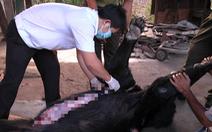 Xác minh nguyên nhân 4 con gấu ngựa nuôi nhốt chết bất thường