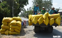 Nông dân khốn khổ vì doanh nghiệp 'bẻ kèo' thu mua lúa