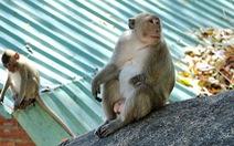 Nhói lòng đường về quê ngày tết với những chú khỉ cụt tay