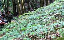 Vườn sâm Ngọc Linh được công nhận là điểm du lịch