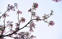 Hoa kèn hồng bung nở sớm, nhuộm tím những góc trời Sài Gòn