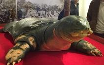 Trưng bày mẫu vật cụ rùa hồ Gươm tại di tích đền Ngọc Sơn