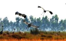54 con sếu đầu đỏ về đồng cỏ bàng Phú Mỹ