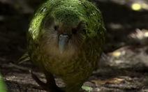 Ngộ nghĩnh loài chim không biết bay, kiếm ăn bằng leo trèo