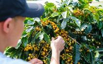 Đẹp mê ly mùa hái 'hạt vàng' ở Đà Lạt