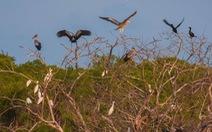 Cò nhạn quý hiếm trong Sách đỏ lần đầu về Vườn chim Bạc Liêu