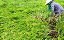 Lốc xoáy ở Quảng Nam khiến nhà tốc mái, lúa hư hại