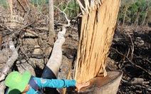 Tàn sát rừng phòng hộ đầu nguồn Ko Róa